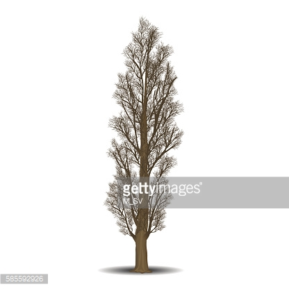 detached tree poplar without leaves