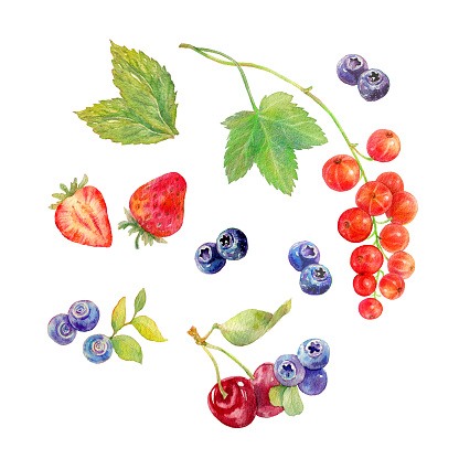 Hand drawn illustration of berries. Botanical watercolor painting.