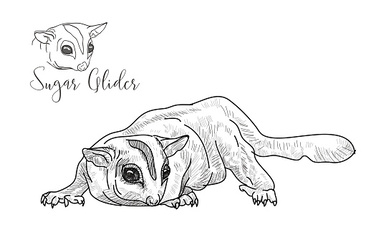 Drawing of sugar glider on white background
