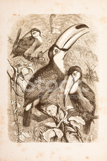 Engraving tropical rainforest with Toco Toucan from 1882