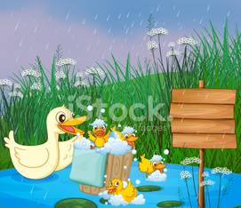 mother duck with her ducklings playing under the rain