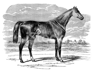 Antique illustration of Thoroughbred