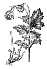 Antique illustration of Geum rivale (water avens)