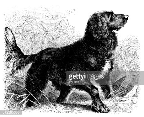 Antique illustration of Pointer dog