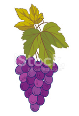 Bunch Of Purple Grapes On White