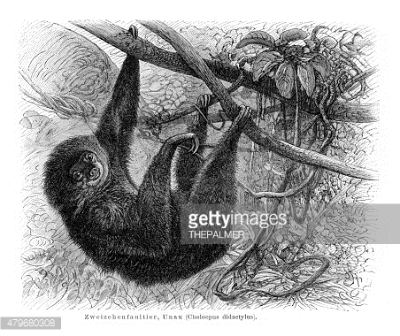 Sloth engraving 1897