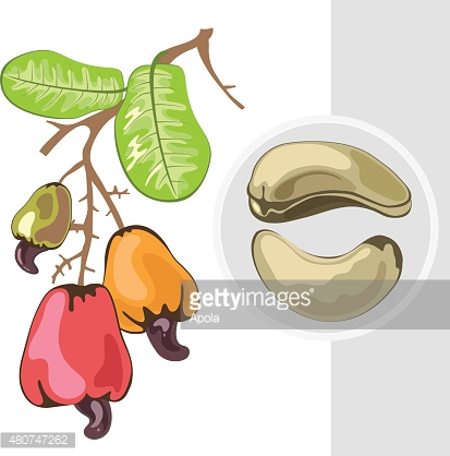 Cashew. Branch with fruits and nuts. Vector illustration.
