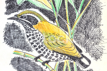 Speckled Piculet  bird drawing
