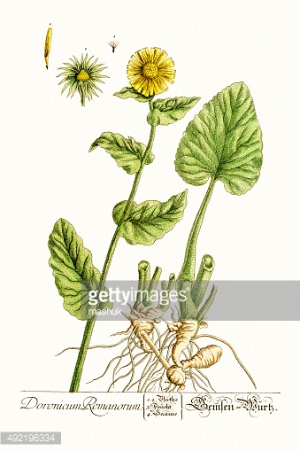 Doronicum flower, 18 century botanical
