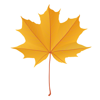 Autumn yellow gold maple leaf isolated on white background