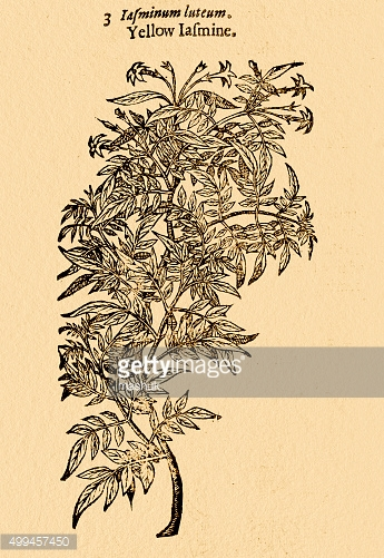 Yellow Jasmine plant;  illustration by Gerard 1633