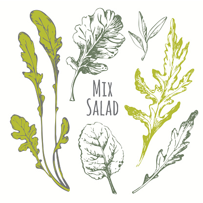 Hand drawn set of mix salad. Sketch herbs.