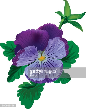 Violet pansy flower with leaves and bud