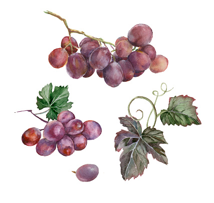 Watercolor bunch of grapes.