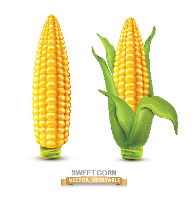 Vector corn on the cob with leaves. design element