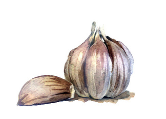 watercolor sketch: Fresh garlic on a white background