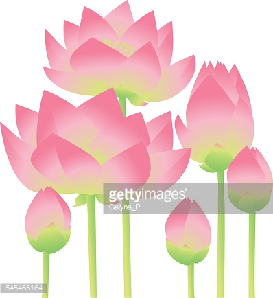 rosy lotus lilies decorative floral element on white background.