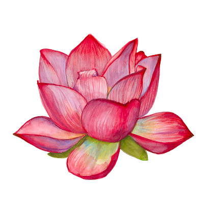 pink lotus flower. isolated. watercolor illustration.
