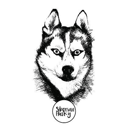 Vector portrait of siberian husky. Isolated on  white background.