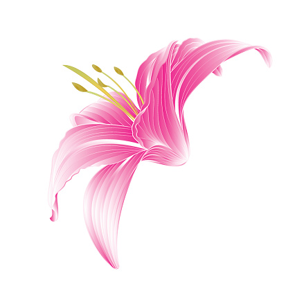 Flower pink lily  vector