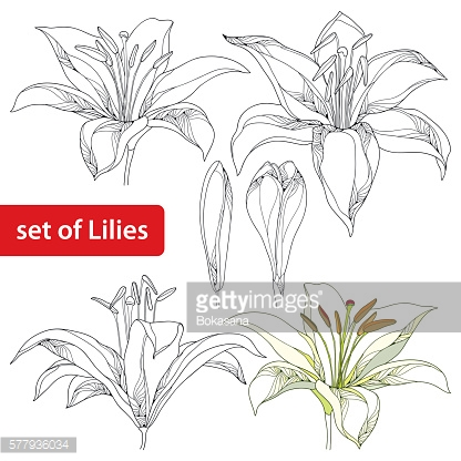 Vector set with ornate white Lily flower and bud isolated.