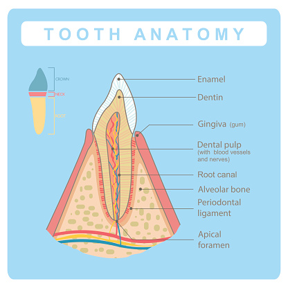 Human tooth  anatomy infographic