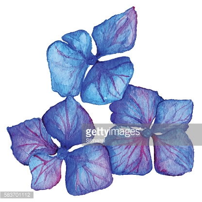 Watercolor blue violet hydrangea floral composition isolated vector