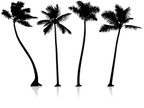 Palm Tree,Coconut Palm Tree...