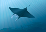 Manta Ray,Ray,Sea,Underwate...