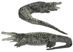 Crocodile,Alligator,Reptile...