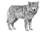 Wolf,Ilustration,Animals In...