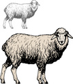 Sheep,Lamb,Ewe,Ilustration,...