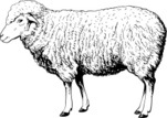Sheep,Lamb,Ewe,Vector,Ilust...