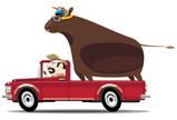 Bull - Animal,Pick-up Truck...