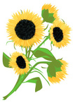 Sunflower,Flower,Bunch,Cut ...