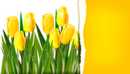 Yellow,Tulip,Vector,Ilustra...