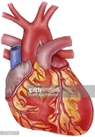 Aorta,Human Artery,Chest Pa...