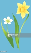 Daffodil,Illustration,No Pe...