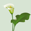 Calla Lily,Lily,White,Flowe...