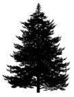 Evergreen Tree,Spruce Tree,...