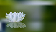 Water Lily,Blossom,Flower H...