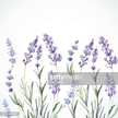 Watercolor Painting,Care,Purple,Bunch,Agricultural Field,Lifestyles,Bunch of Flowers,Painted Image,Wood Stain,Violet - Flower,Vector,Backgrounds,Human Body Part,Plant,Beauty Product,Rural Scene,Farm,Provence-Alpes-Cote d'Azur,Flower,Vitality,Lavender - Plant,Summer,Computer Graphic,Water,Botany,Gardening,Pattern,Pampering,Wet,Drawing - Art Product,Vibrant Color,Symbol,Colors,Illustration,Perfume,Multi Colored,Paint,Beauty,Aromatherapy,Human Hand,Sketch,White Color,Lilac,2015,Herb,Playing Card,Brush Stroke,Relaxation,Springtime
