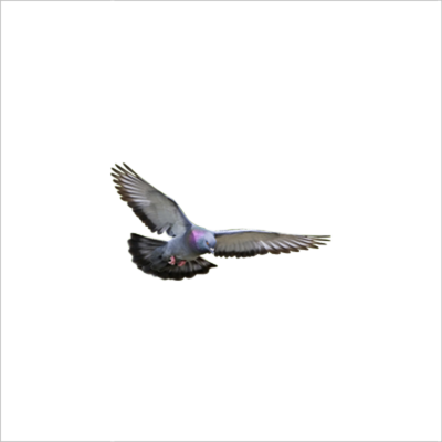 Flying Pigeon PSD