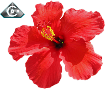 Hot Red Hibiscus PSD