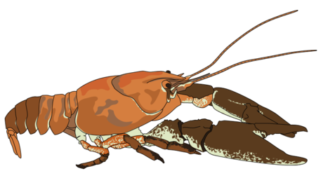 Ecrevisse a pattes blanches - white-clawed crayfish