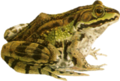 Frog PSD