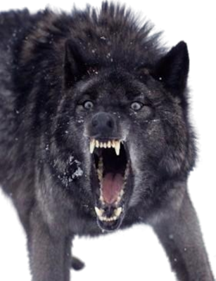 Growling Black Wolf PSD