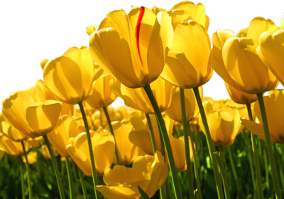 Yellow Tulips PSD