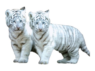 2 White Tiger cubs PSD
