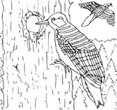 Coloring Book Woodpecker